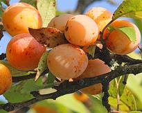 mirabelle fruit maturite Flora