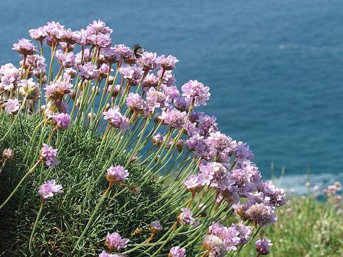 Armeria maritima Flora