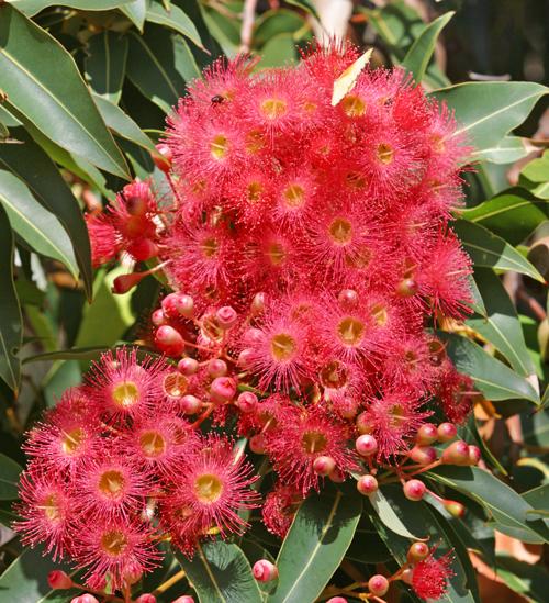 Corymbia ficifolia Mioulane NewsJardinTV 9654782