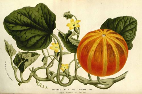 Flore Serres Jardins Europe Cucumis