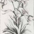Helleborus garidel pierre joseph