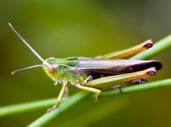 Criquet Omocestus Viridulus Male