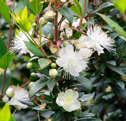 Myrtus communis Mioulane NewsJardinTV NPM 719513540