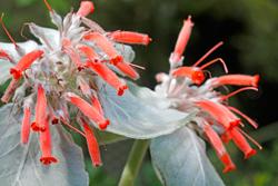 Sinningia Leucotricha Mioulane NewsJardinTV NPM 2507525282