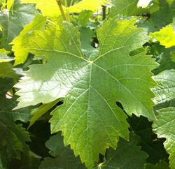 Vigne feuille Flora