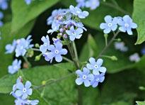 Myosotis Flora
