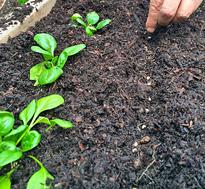 Semis epinard Graines Flora