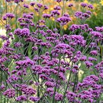 Verbena banariensis Flora
