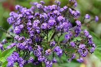 heliotropium arborescens Flora