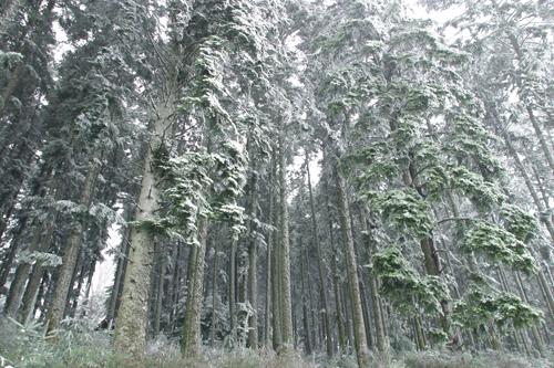 Foret Picea Neige Mioulane NewsJardinTV 794613215487
