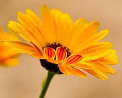 calendula officinalis souci Flora 340