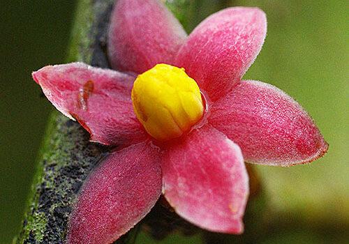 Sirdaviidia Fleur Gros plan32