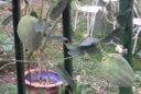 Araujia Plante Vignette
