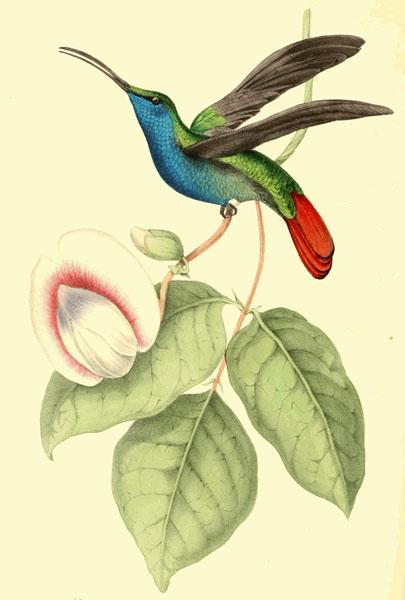 Colibri William Swainson