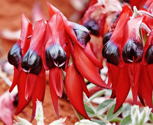Swainsona formosa Flora