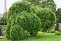 Styphnolobium japonicum Pendulum