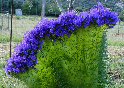 Echium vulgare Fasciation NewsJardinTV 053