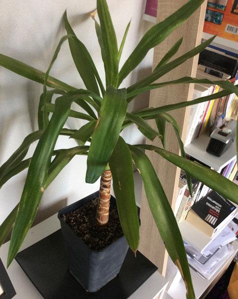 Yucca Plante entiere NewsJardinTV