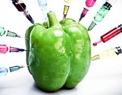 OGM Poivron