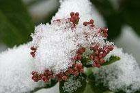 Viburnum tinus Hiver Neige Mioulane NewsJardinTV NPM 2607525710