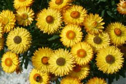 Bracteantha Dreamtime Yellow Immortelle Mioulane Jardimiou NewsJardinTV 16798457