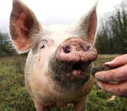 Cochon Truffe Fauna