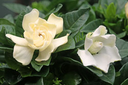 Gardenia Mioulane NewsJardinTV NPM 719516174