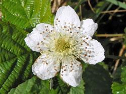 Ronce Fleur Flora