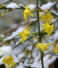 Jasminum nudiflorum neige Mioulane Jardimiou NewsJardinTV NPM 2607525767