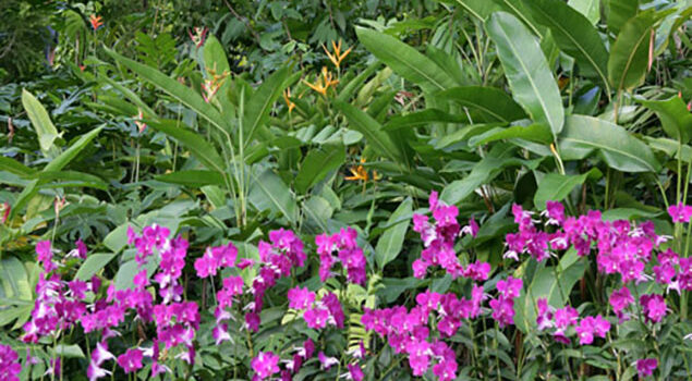 Dendrobium_Heliconia_Singapour