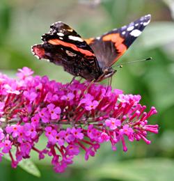 Papillon Vulcain Mioulane NewsJardinTV Jardimiou NPM 850277293