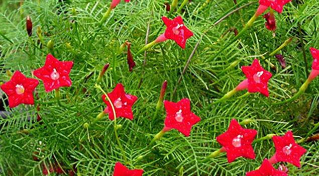 Quamoclit rouge Flora