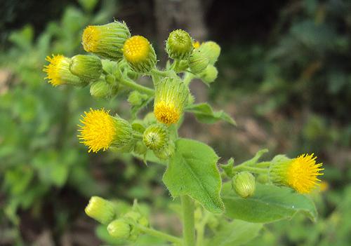 Blumea lacera