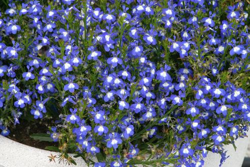 Lobelia Periwinckle Blue Mioulane NewsJardinTV Jardimiou 554142549
