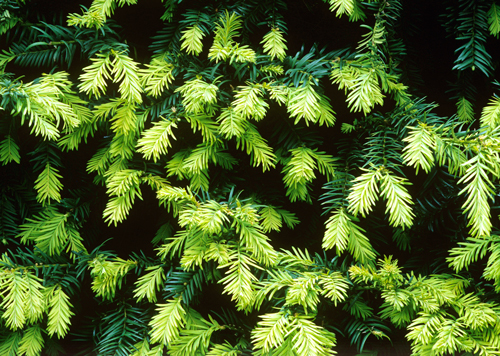 Taxus Mioulane NewsJardinTV Jardimiou NPM GIP0106090