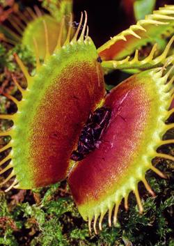 Dionaea Mioulane NewsJardinTV Jardimiou GIP0048711