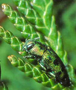 Bupreste Thuya Fauna