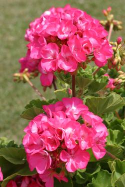Pelargonium Mioulane NewsJardinTV Jardimiou 5541458