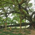 Banyan Ficus religiosa Guilin Mioulane NewsJardinTV Jardimiou 5548471