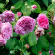 Rose Olivet Mioulane NewsJardinTV NPM 2707523243