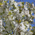 Cerisier Floraison Mioulane NewsJardinTV NPM 2507522200