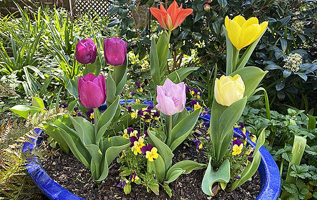 tulipe en jardinière