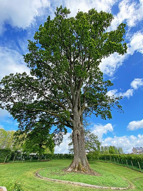 Chêne sessile (Quercus petraea) Bretagne